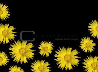 yellow floral background calendula sunflowers on black