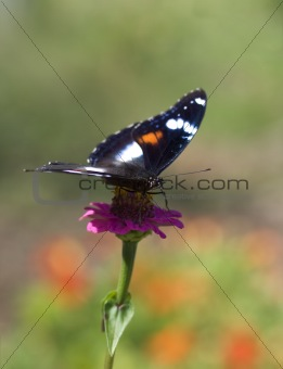 butterfly in color Hypolimnas bolina Common Eggfly female front