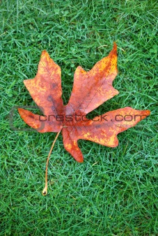 Autumn  Leaf on Grass