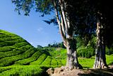 Cameron Highland Tea Plantation