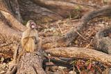 Chacma baboons
