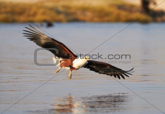 Fish Eagle hunting