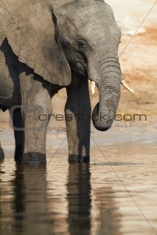 An African elephants