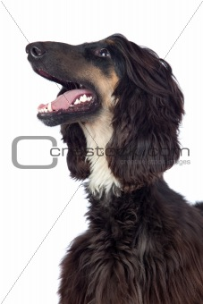 Afghan-Hound dog