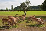 Fallow deer herd
