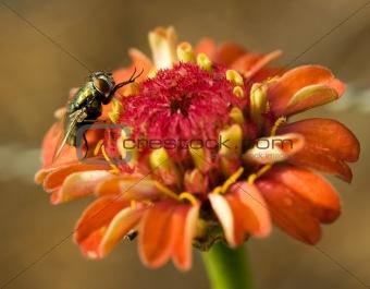 hover fly on orange flower