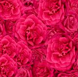 beautiful floral cerise pink rose background