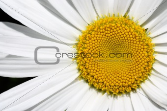 Center of Big Daisy