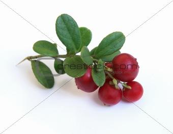 Fresh cowberry