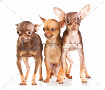 Three Russian toy terrier
