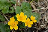 Flowers of Marsh marigolds (Caltha palustris)