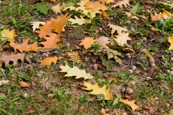 Autumn background,oak, leaf, acorn.
