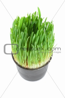 Green grass in a pot isolated