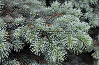 Branch of blue fir-tree
