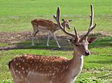Fallow deer couple