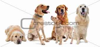 golden retriever and labrador retriever