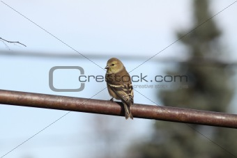 (9236) American Goldfinch (adult male non-breeding)