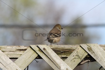 (9207) American Goldfinch (adult male non-breeding)