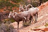 Heard Of Desert Big Horn Sheep