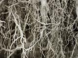 Bared root system of old tree - background