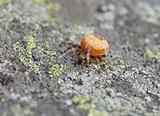 Large orange spider on stone