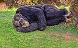 resting chimpanzee