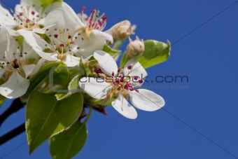 Blossoming a spring cherry
