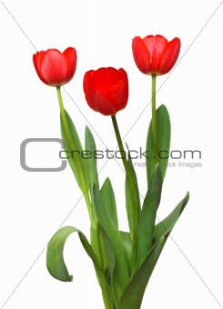 three red tulip bunch