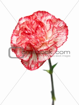 carnation flower bud