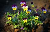 small pansy flowers