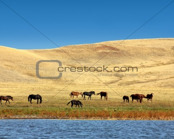 grazing horses on yellow hills
