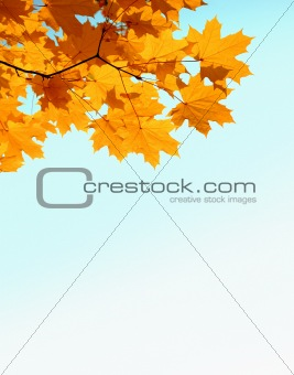 autumn maple leaves and copy space