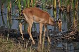 Young Impala ram drinking