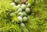 Green fruit of juniper