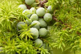 Green fruit of juniper