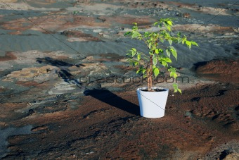 Green Ficus in pot on stony desert
