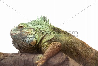 Iguana side view isolated