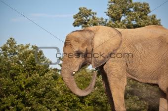 African Elephant Dust Bath