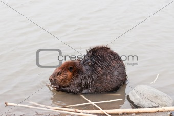 Beaver Chewing a Stick
