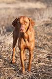 Portrait of a Standing Vizsla Dog
