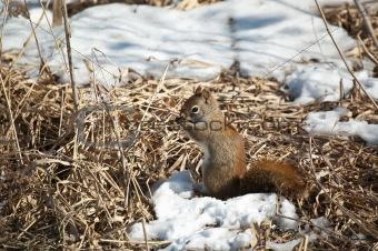 Red Squirrel Feeding in Winter