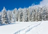 Ski trace on snow surface  and fir forest behind.