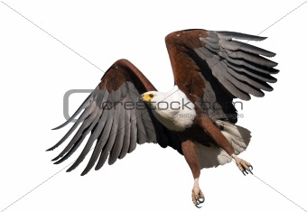 African Fish Eagle isolated