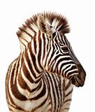 Zebra portrait isolated