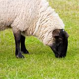 Black faced ewe