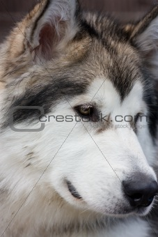 malamute puppy