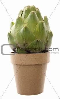 Fresh Artichoke Growth
