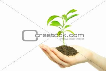 sapling in soil