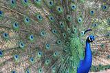 Male peacock with tail spread