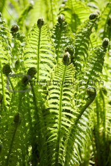 Green leaves of wild young fern for background